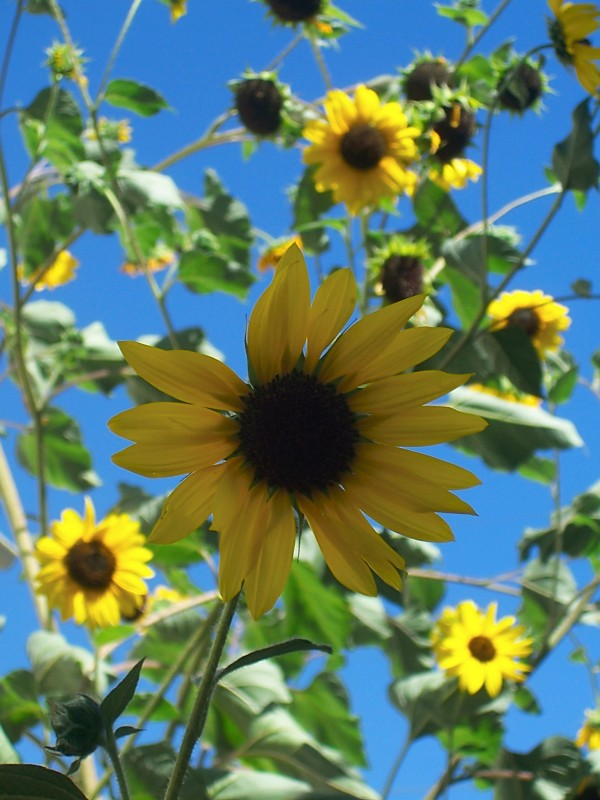 sunflowers, Longmont, Colorado