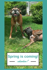 my boxers can't wait for springtime!  Edited in Canva.com