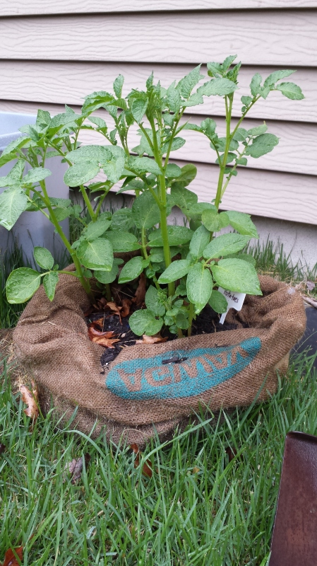potatoes in burlap coffee bag
